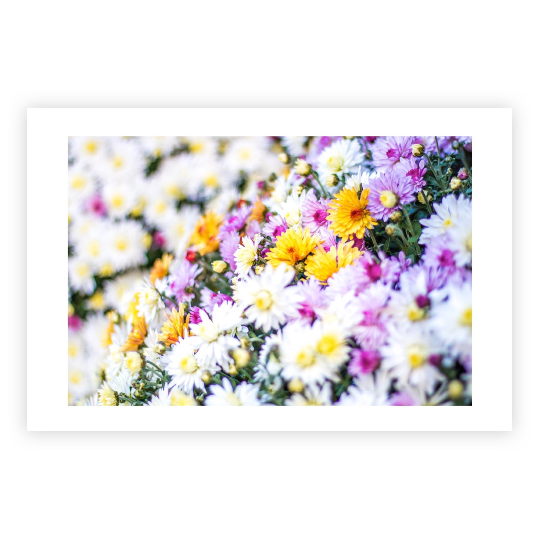 CHRYSANTHEMUM BOUQUET LMITED EDITION PRINT