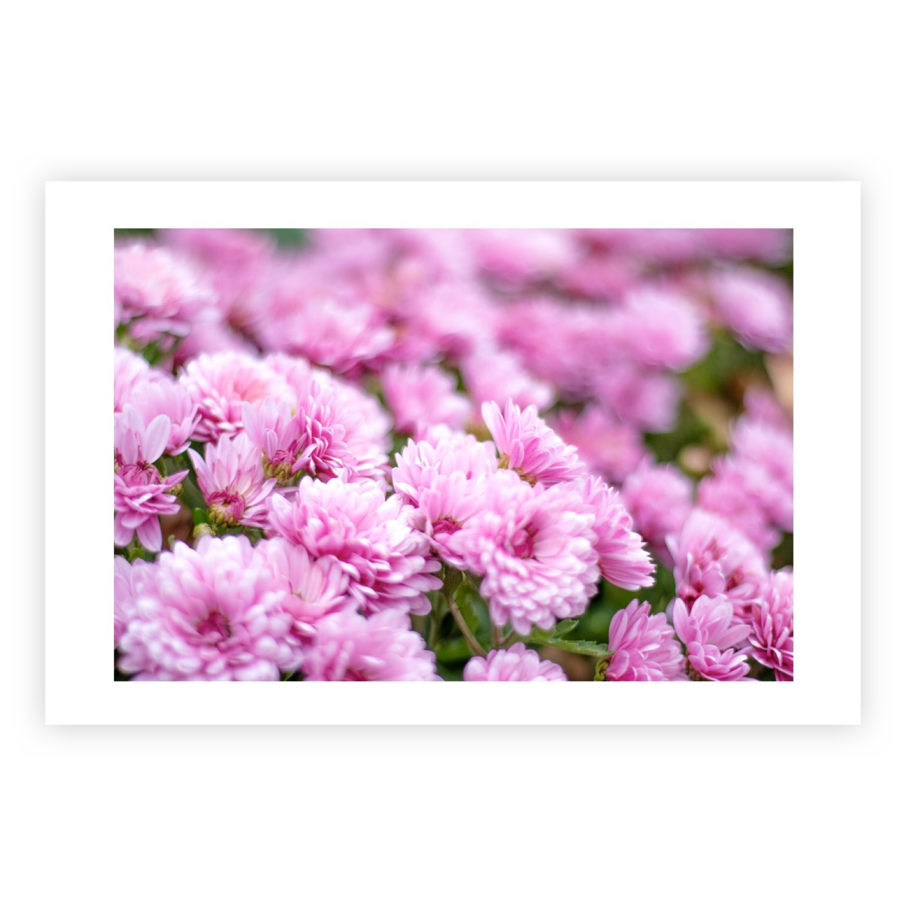 PINK CHRYSANTHEMUMS LIMITED EDITION PRINT
