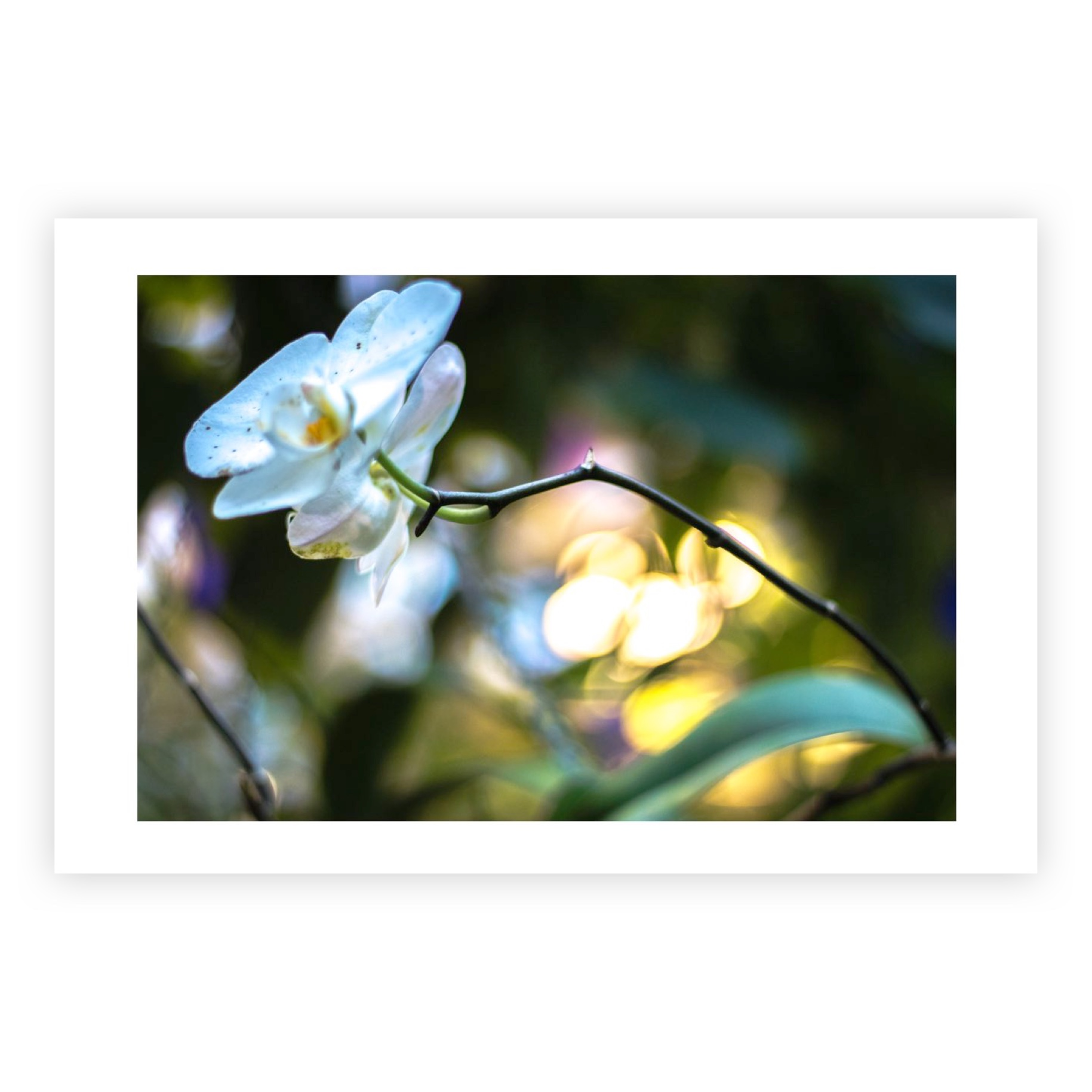 EVENING ORCHID LIMITED EDITION PRINT