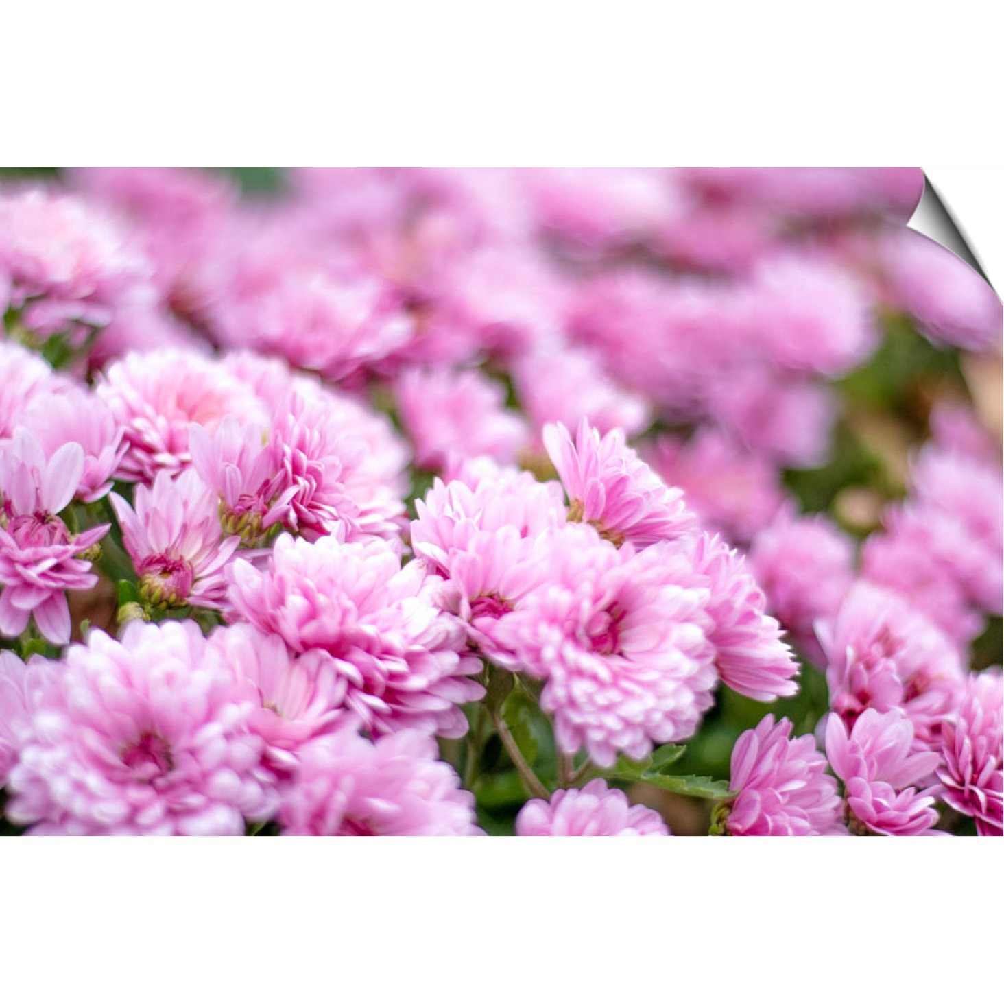 PINK CHRYSANTHEMUM WALL DECAL